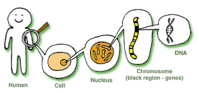 GeneCellDNA